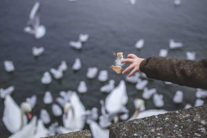 girl feeding swans and seagulls